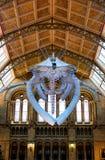 Esqueleto de la ballena de esperma en museo de la historia natural en Londres fotografía de archivo libre de regalías