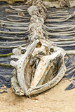 Esqueleto de la ballena expuesto en Marine Life Museum Imágenes de archivo libres de regalías