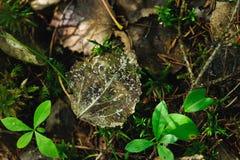 Esqueleto de la hoja del álamo temblón Foto de archivo libre de regalías