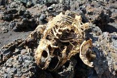 Esqueleto de la iguana en las islas de las Islas Galápagos Foto de archivo
