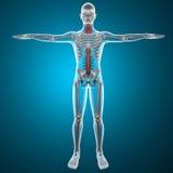 Esqueleto de la radiografía de la espina dorsal stock de ilustración
