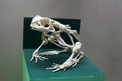 Esqueleto de la rana Imágenes de archivo libres de regalías