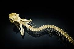 Esqueleto de la serpiente Imagen de archivo libre de regalías