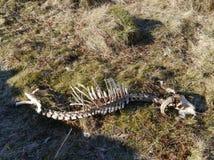 Esqueleto de las ovejas en hierba secada del invierno Foto de archivo