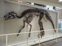 Esqueleto de los annectens del Edmontosaurus en el museo de Ulster fotografía de archivo