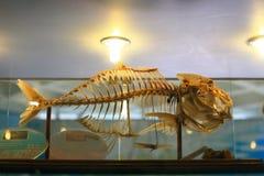 Esqueleto de los pescados Imagen de archivo libre de regalías
