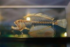 Esqueleto de los pescados Fotografía de archivo