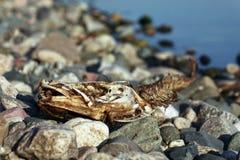 Esqueleto de los pescados que mienten en piedras imagen de archivo libre de regalías