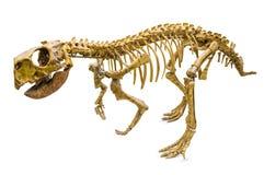 Esqueleto de Psittacosaurus Fotos de archivo