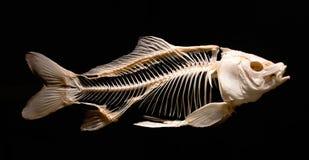 Esqueleto de um peixe da carpa isolado contra um fundo preto fotografia de stock