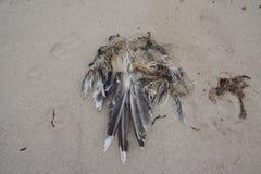 Esqueleto de uma gaivota Fotos de Stock Royalty Free