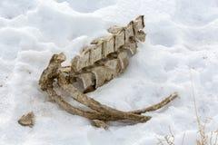 Esqueleto de un animal en nieve Fotografía de archivo