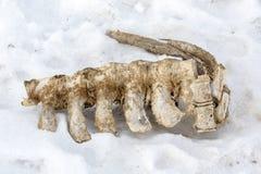 Esqueleto de un animal en nieve Imagen de archivo