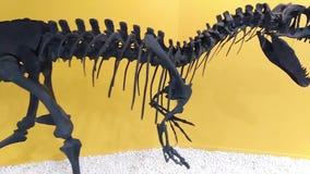 Esqueleto de un dinosaurio prehistórico, cierre del Allosaurus para arriba almacen de video