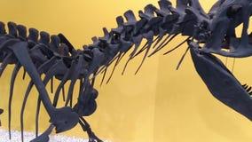 Esqueleto de un dinosaurio prehistórico, cierre del Allosaurus para arriba almacen de metraje de vídeo