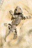 Esqueleto de un lagarto en una roca Fotos de archivo libres de regalías