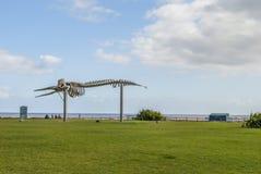 Esqueleto de una ballena de esperma Imagen de archivo libre de regalías