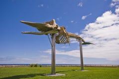 Esqueleto de una ballena de esperma Fotos de archivo libres de regalías