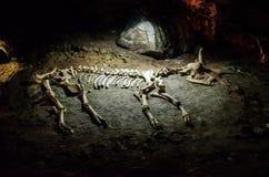 Esqueleto del animal en la cueva Emine Bair Khosar crimea Imágenes de archivo libres de regalías