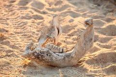 Esqueleto del animal muerto en safari en reserva surafricana del juego Foto de archivo