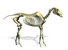 Esqueleto del caballo - con el camino de recortes Fotografía de archivo libre de regalías