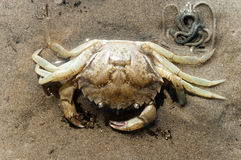 Esqueleto del cangrejo de orilla Fotografía de archivo