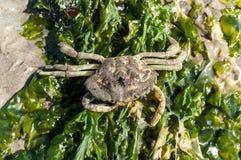 Esqueleto del cangrejo y lechuga de mar Foto de archivo libre de regalías