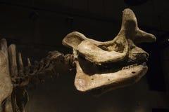 Esqueleto del dinosaurio Fotos de archivo libres de regalías