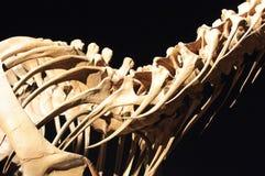 Esqueleto del dinosaurio fotos de archivo