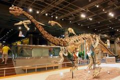 Esqueleto del fósil de dinosaurio Imagen de archivo libre de regalías