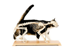 Esqueleto del gato Fotos de archivo libres de regalías