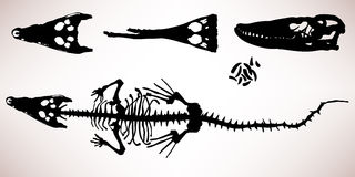 Esqueleto del hueso del cocodrilo del cocodrilo Foto de archivo