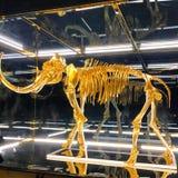Esqueleto del mamut del oro imagen de archivo