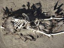 Esqueleto del pelícano Foto de archivo