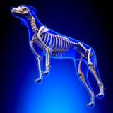 Esqueleto del perro - Canis Lupus Familiaris Anatomy - opinión de perspectiva imágenes de archivo libres de regalías