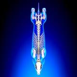 Esqueleto del perro - Canis Lupus Familiaris Anatomy - visión superior imagenes de archivo