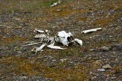 Esqueleto del reno Fotos de archivo libres de regalías