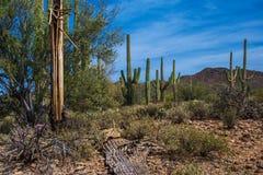 Esqueleto del Saguaro Fotografía de archivo