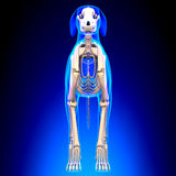 Esqueleto do cão - Canis Lupus Familiaris Anatomy - vista dianteira fotografia de stock royalty free