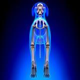 Esqueleto do cão - Canis Lupus Familiaris Anatomy - vista traseira foto de stock
