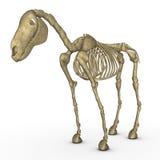 Esqueleto do cavalo ilustração royalty free
