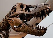 Esqueleto do dinossauro imagem de stock
