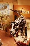 Esqueleto do dinossauro no museu de Washington Imagem de Stock