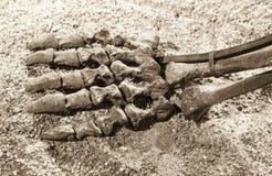 Esqueleto do dinossauro - pé Fotografia de Stock