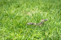 Esqueleto do lagarto Fotos de Stock