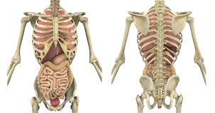 Esqueleto do torso com órgãos internos Imagens de Stock