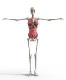 Esqueleto fêmea fotografia de stock royalty free
