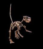 Esqueleto fóssil do dinossauro Imagem de Stock
