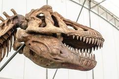 Esqueleto gigante do dinossauro ou do T-rex Fotografia de Stock Royalty Free