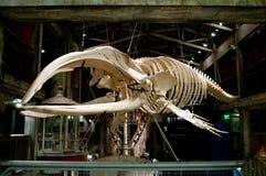 Esqueleto grande de los pescados en Georgia Aquarium, Atlanta, los E.E.U.U. Imagenes de archivo